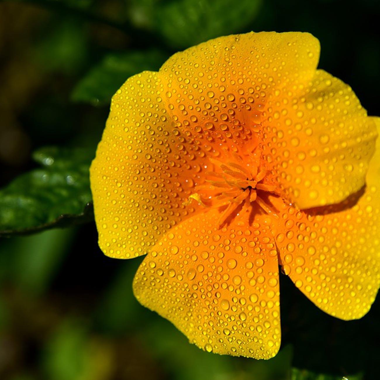 AdenaNatura-Kalifornijski-zlatni-mak-box